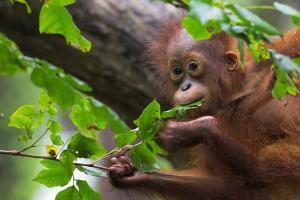 GreenPeace Petition Save Orangutans