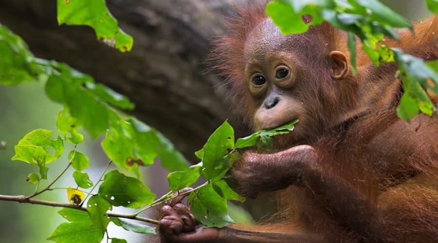 GreenPeace Petition Save Orangutans