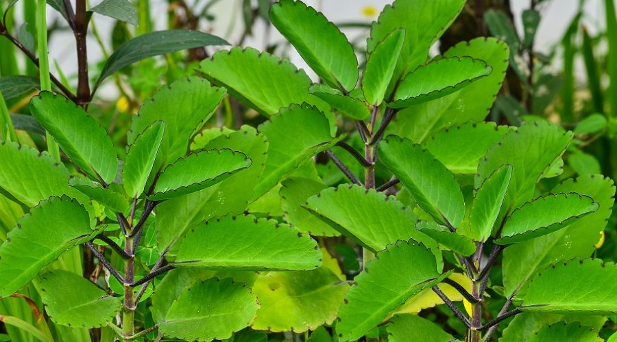 Leaf Of Life Plant
